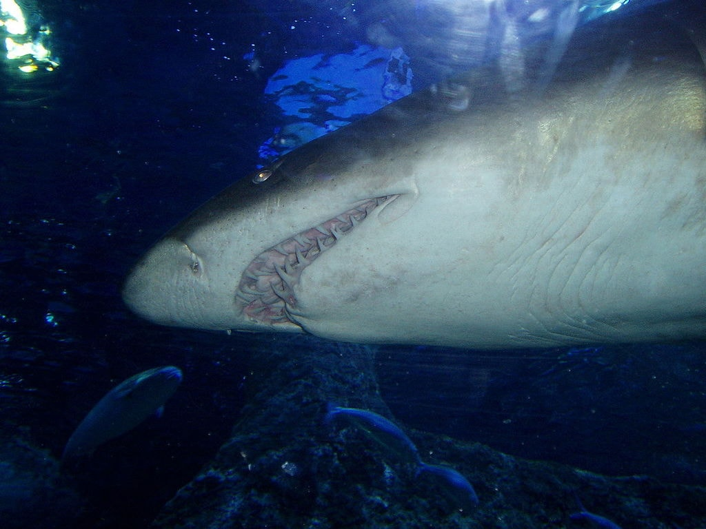Grey nurse shark at AQWA | © Wai Hong/Wikimedia Commons