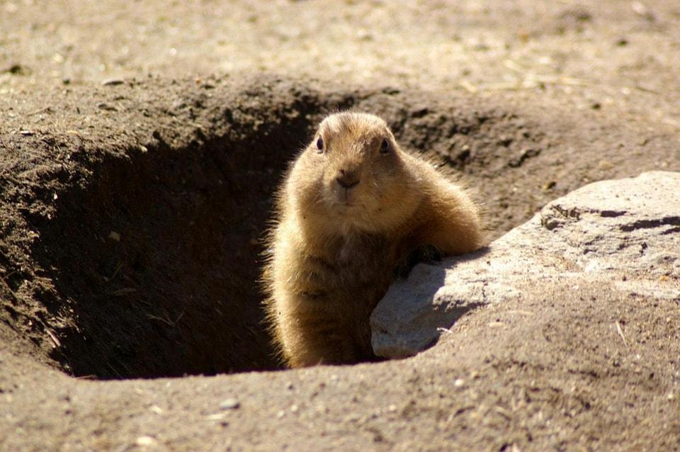 groundhog-629863_960_720