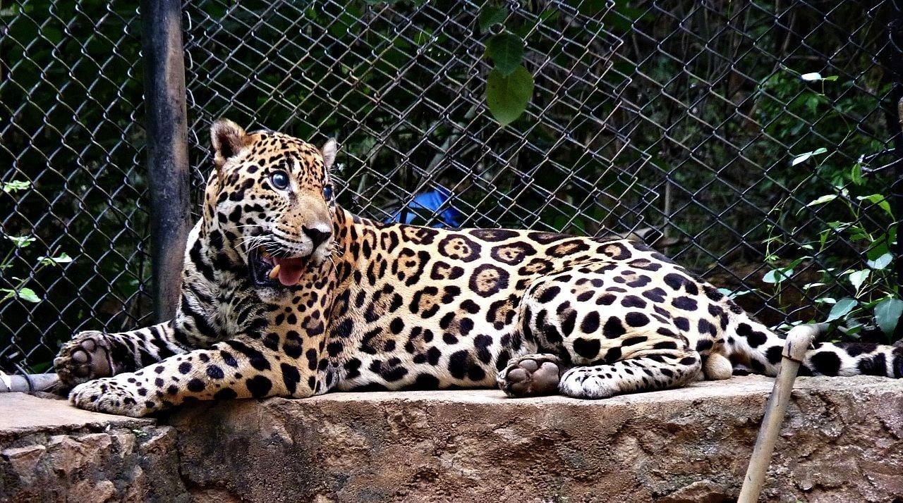 Jaguar_in_the_Vandalur_Zoo