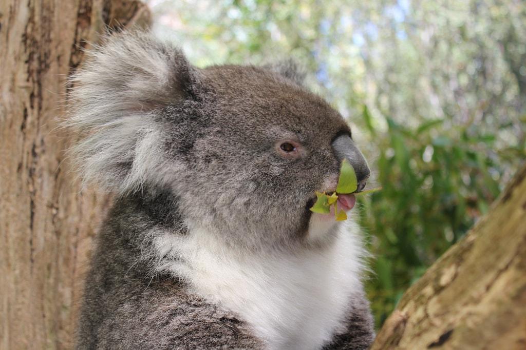Koala at Cleland Wildlife Park | © NH53/Flickr