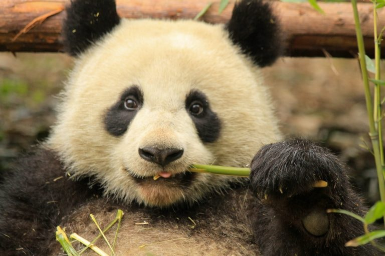Guide to Visiting Pandas in Chengdu