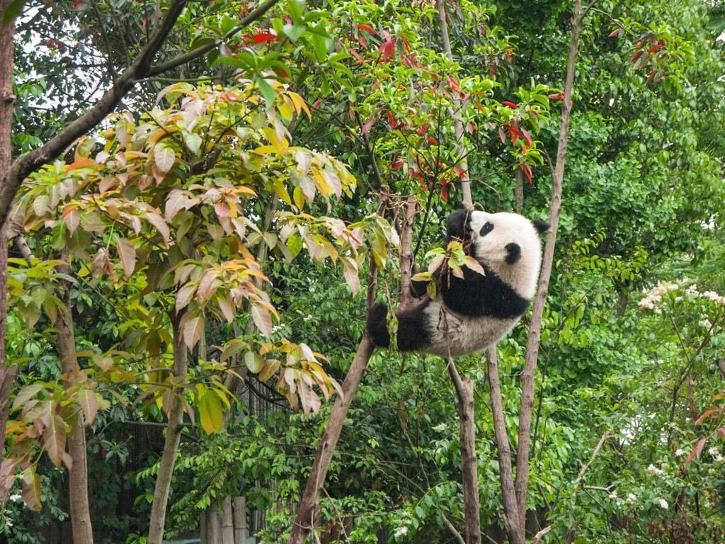 panda-in-the-trees-at-chengdu-panda-breeding-center-in-sichuan