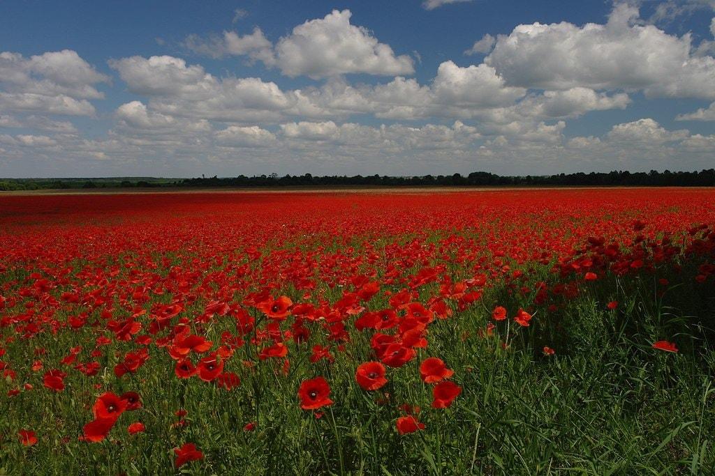 Poppy_Field_near_Ozhydiv