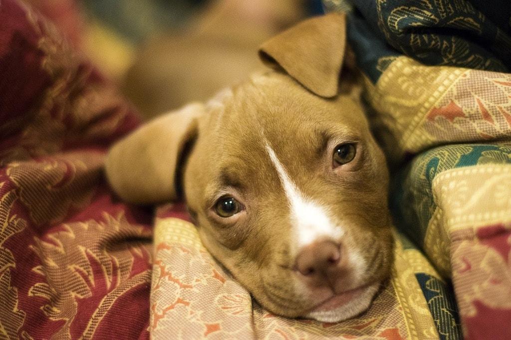 https://pixabay.com/en/puppy-dog-canine-cute-pet-animal-3091617/