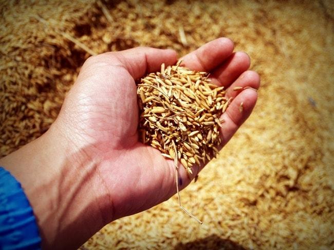 rice-1549130_1920