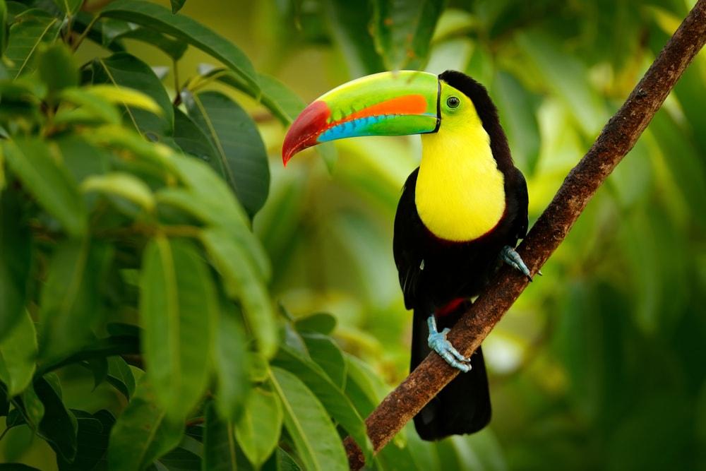 Keel-billed toucan | © Ondrej Prosicky/Shutterstock