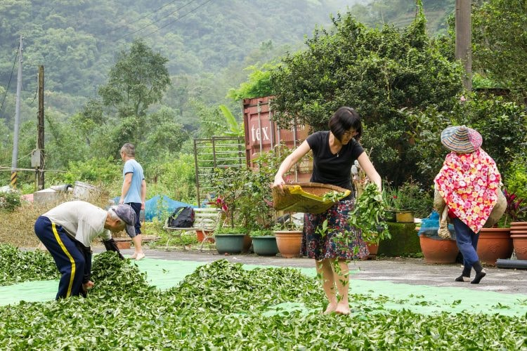 Spreading Tea Leaves for Outdoor Oxidation | Courtesy of Floating Leaves Tea