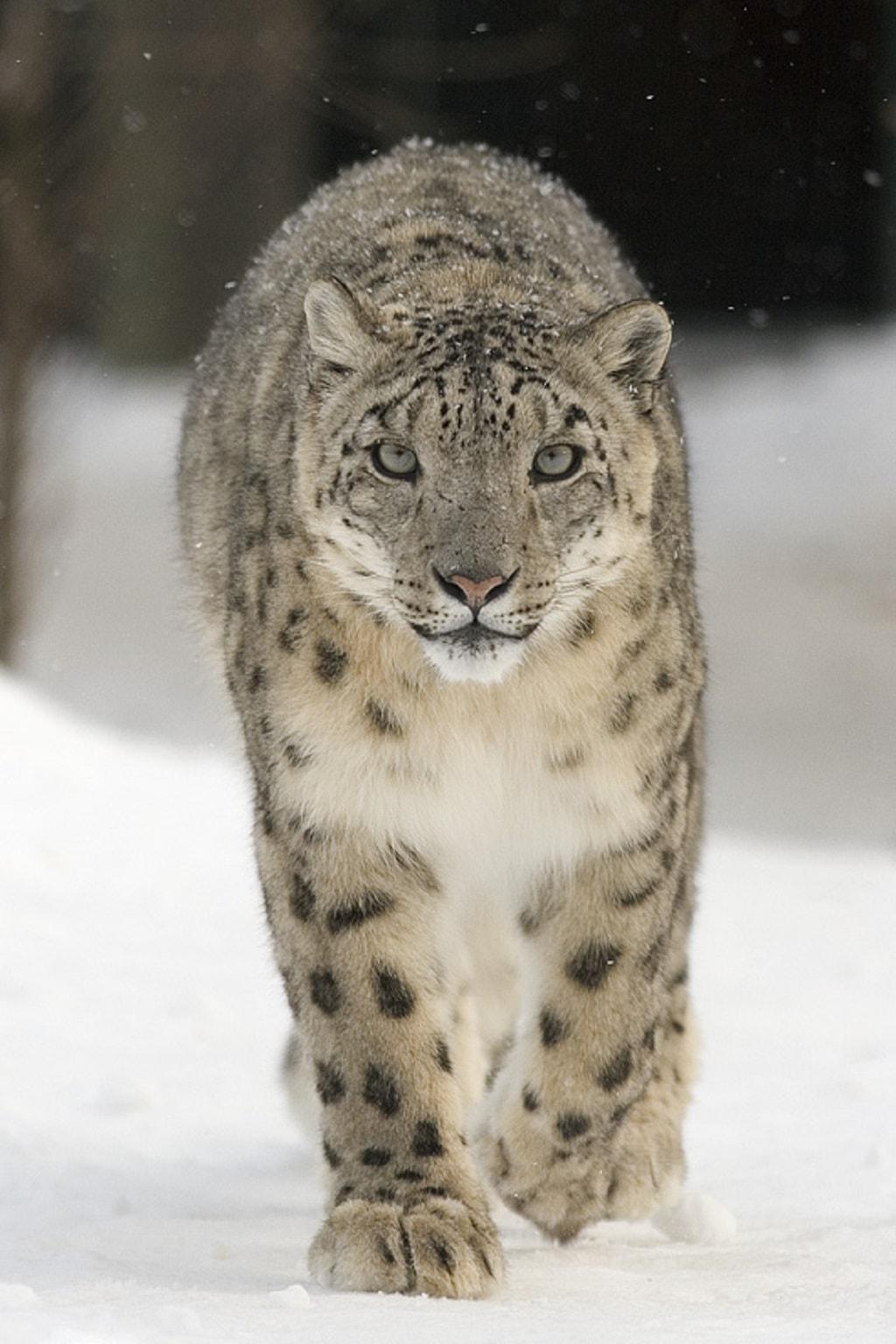 Snow leopard Manali