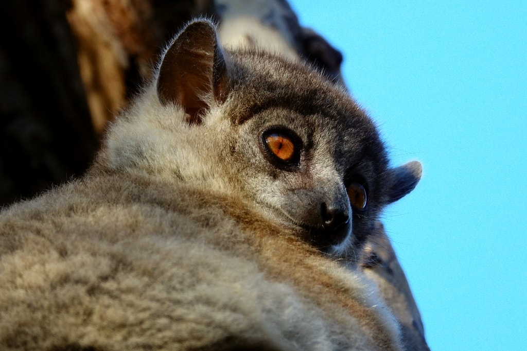 Sportive_lemur_scaled