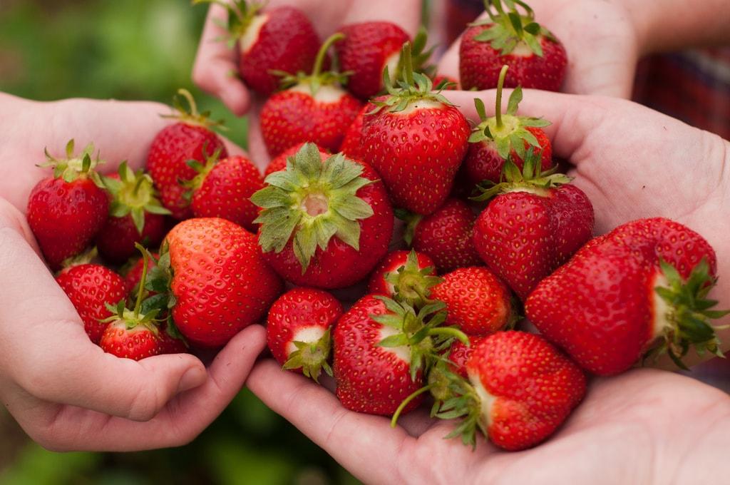 strawberry picking flickr