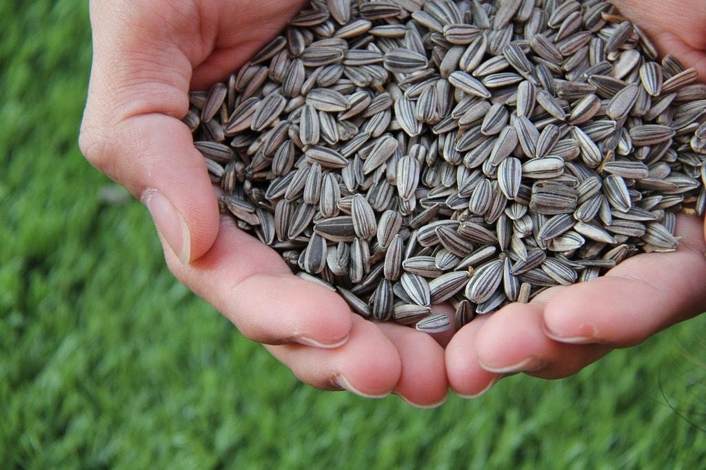 sunflower-seed-1213766_1280