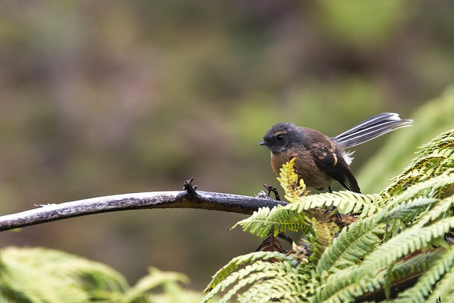 The Chatham Island Fantail