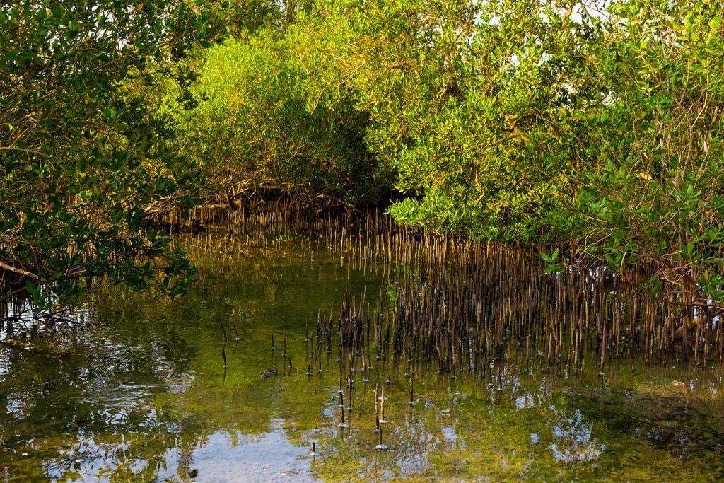 Mangrove forest | © Abdalrahman Mohrat/Flickr