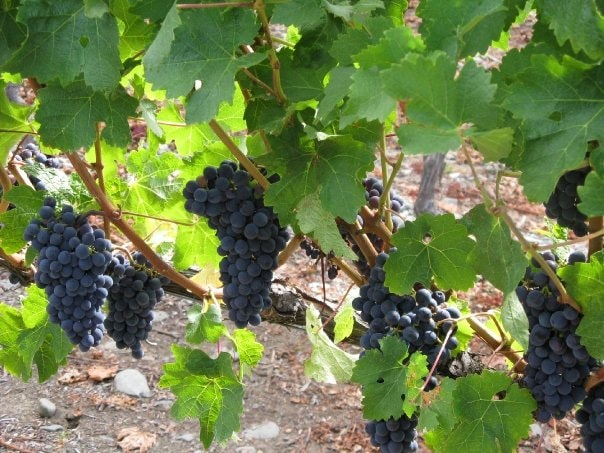 Trinity Hill Grapes