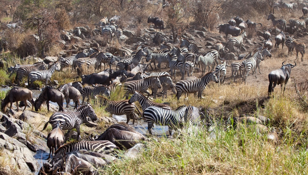 Zebras and Wildebeests