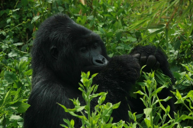 10.reasons.to.visit.uganda.gifted.by.mountain.gorilla