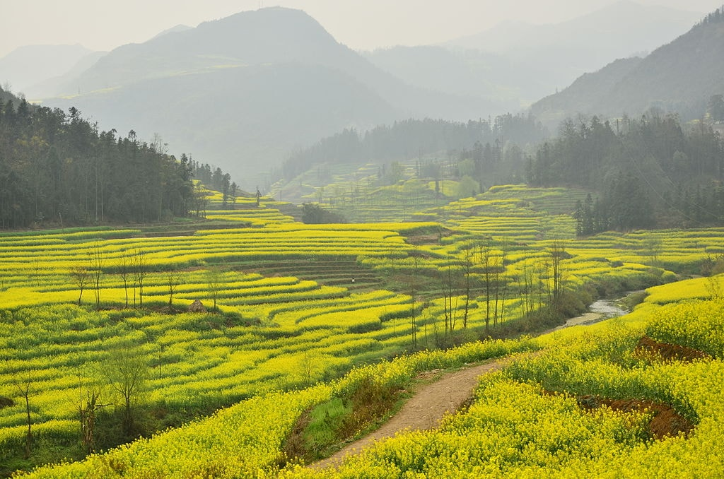 1024px-Canola_field_in_Luoping