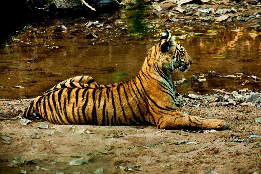 5.tiger_periyar_