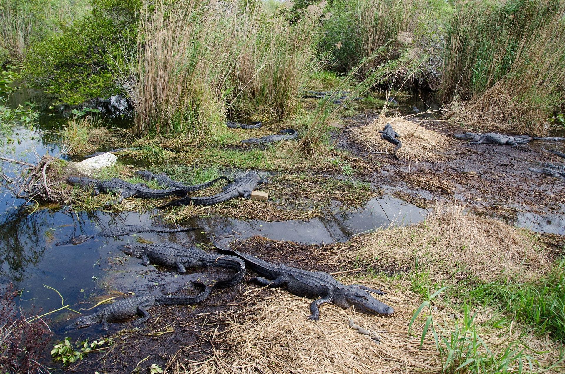 alligators-2291480_1920