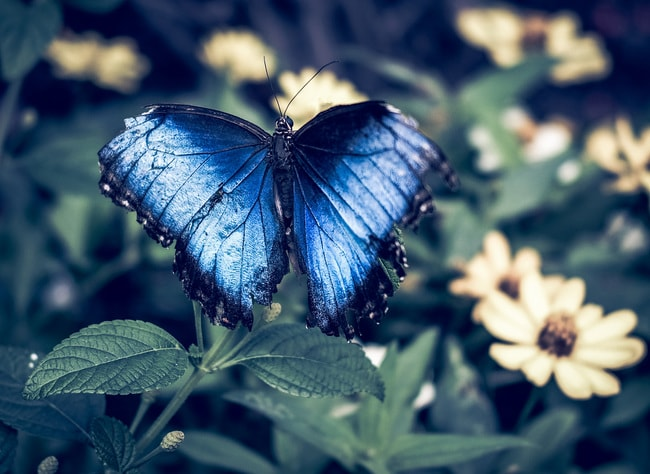 Blue butterfly at the Marjorie McNeely Conservatory Sharon Mollerus