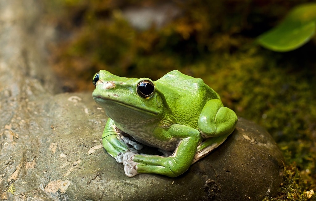 Discover species such as gliding frogs | Courtesy of Royal Botanical Gardens