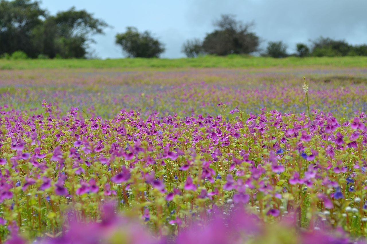 Kaas Plateau in full bloom