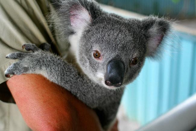 Koala | © Taz/Flickr