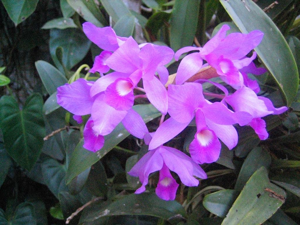Guaria morada, Flor Nacional de Costa Rica | Guaria morada ... |Guaria Morada