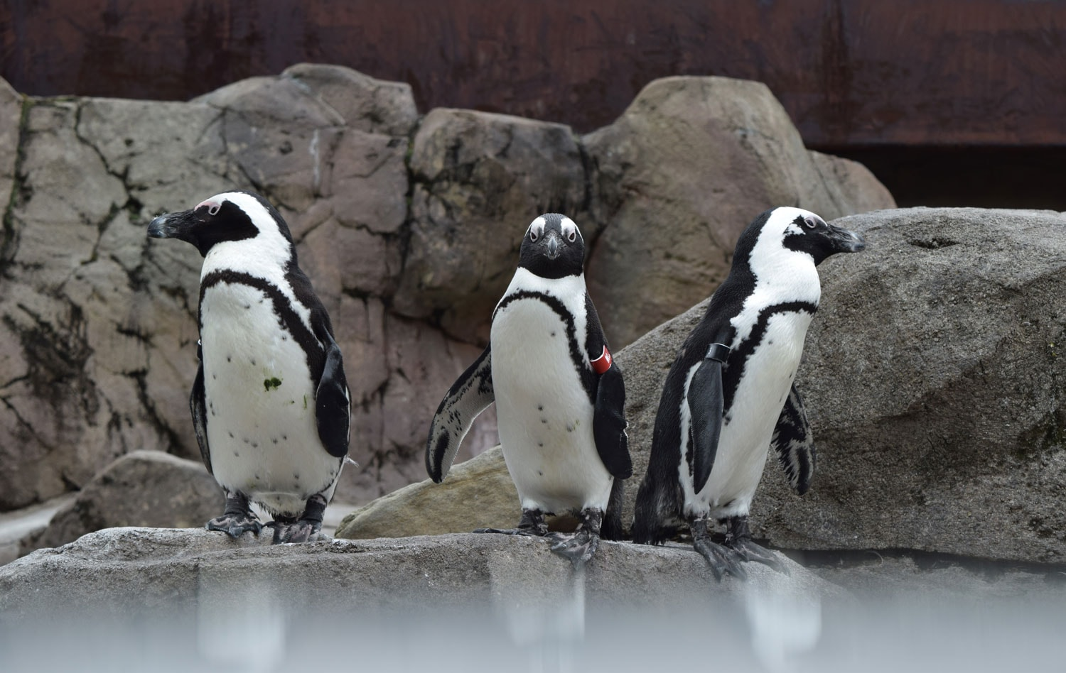 National Aviary penguins | Photo by David Kindervater