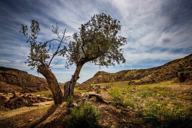 rsz_1rsz_olive_tree