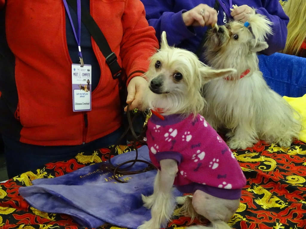 rsz_chinese_crested
