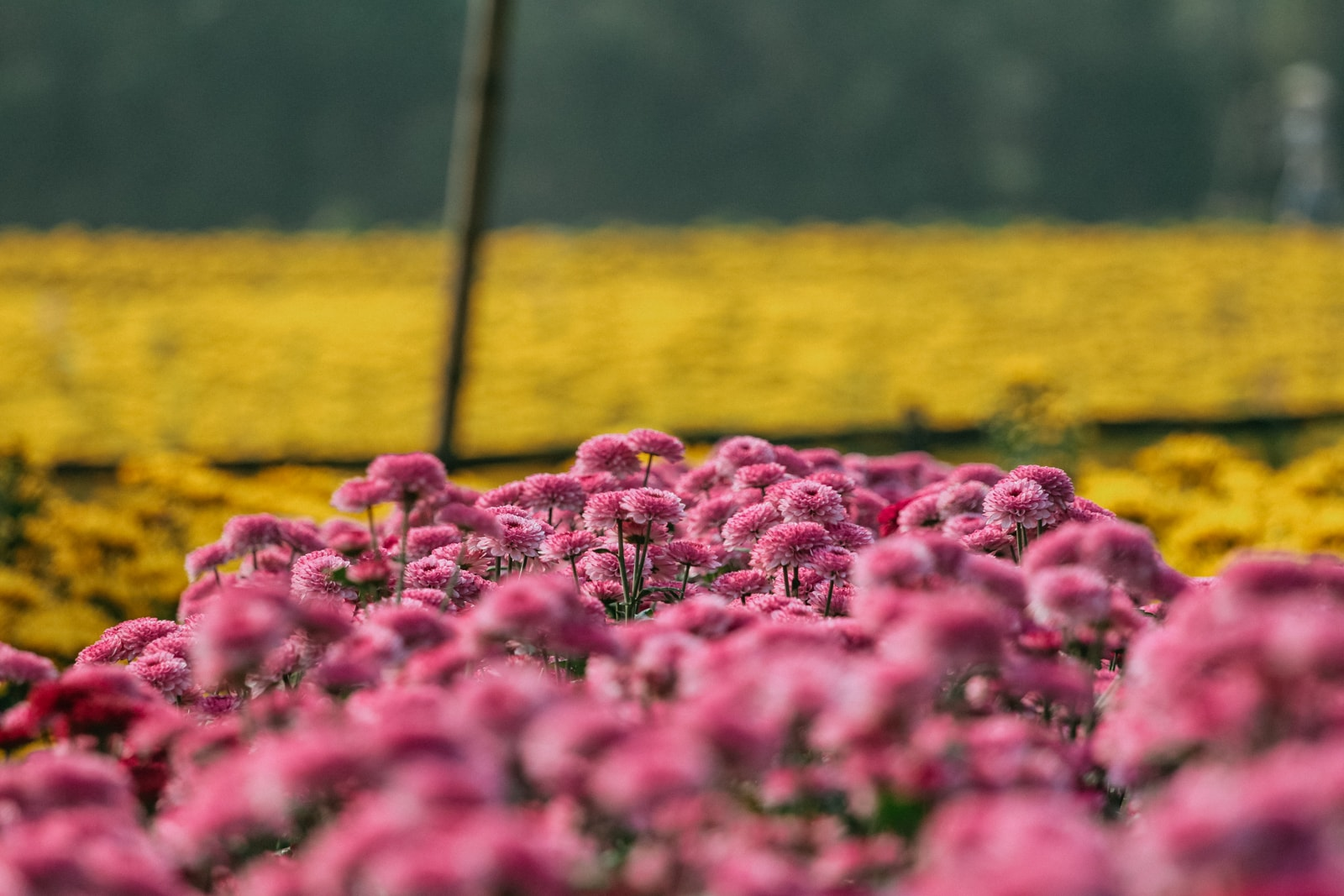 The Significance Of Tt Flowers In Vietnam