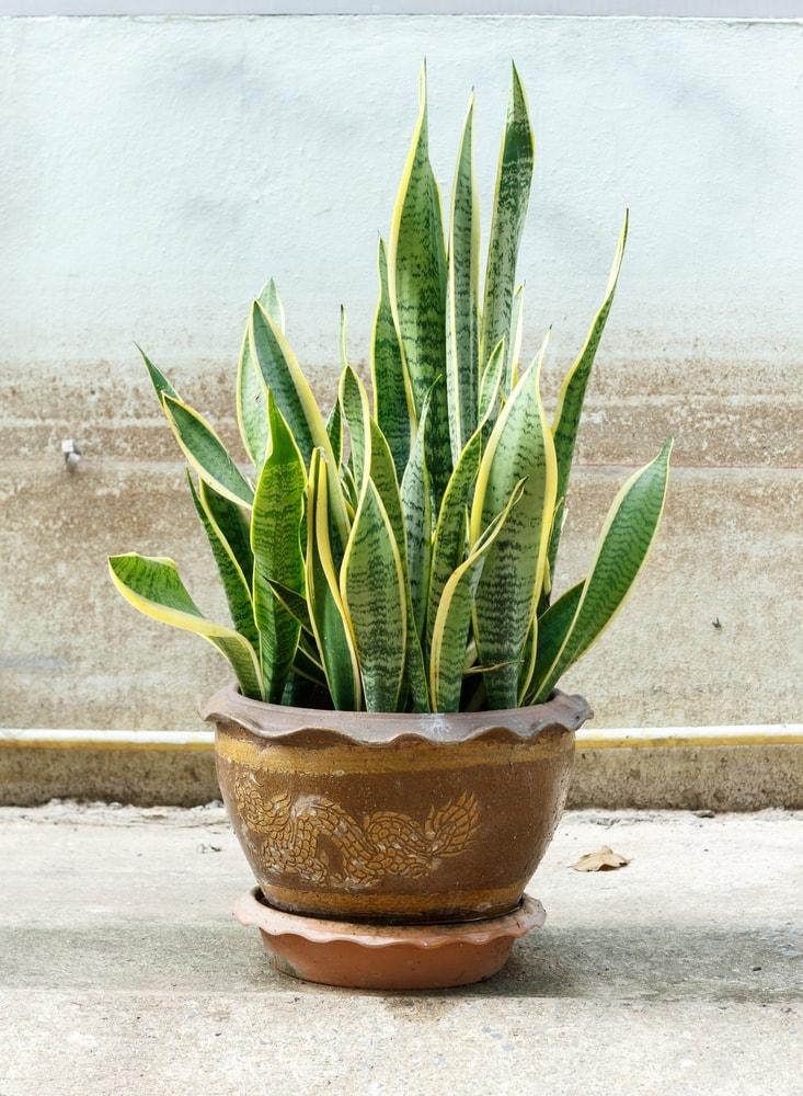 'Sansevieria trifasciata' in pot on old wall background   © karimpard/Shutterstock