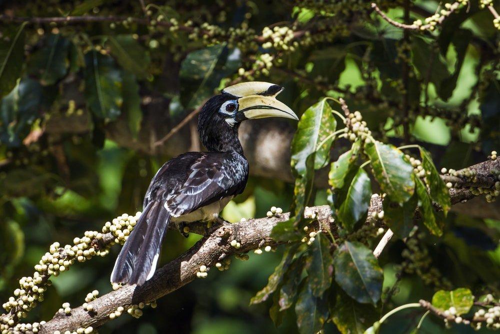 Hornbill on Koh Adang, Thailand