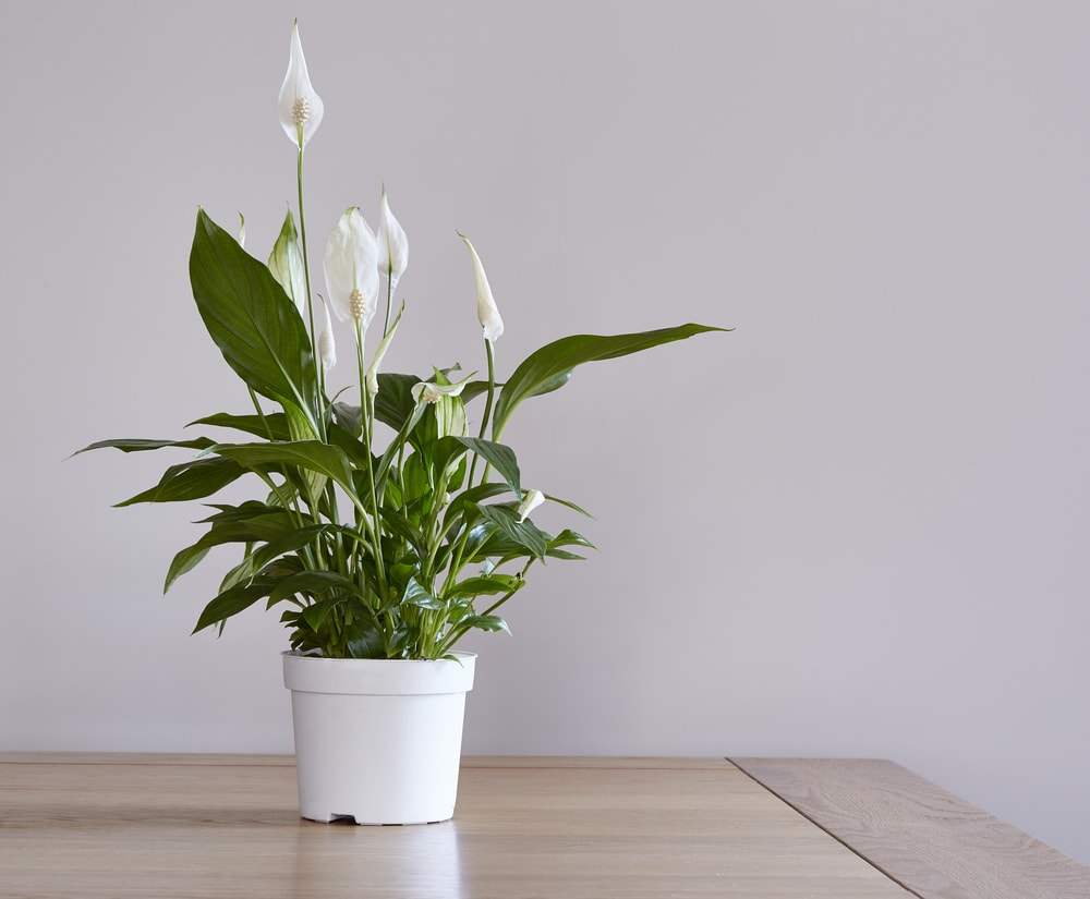 A potted peace lily houseplant on a dining table   © John C. Evans/Shutterstock