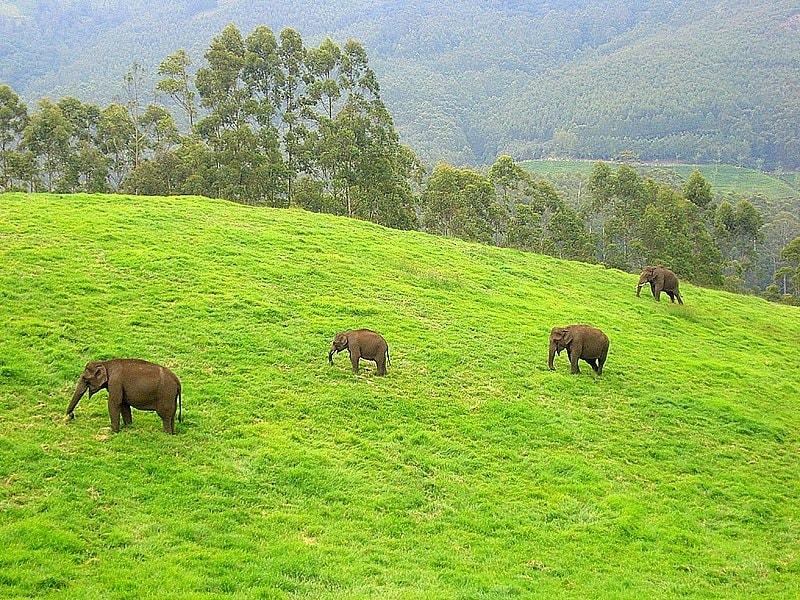 Wild Elephants in Munnar Aruna Malayalam Wikipedia