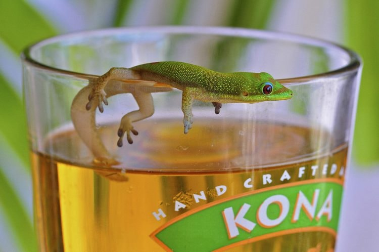 Kona Brewing Co. Beer and Gecko | © Steve Dunleavy/WikiCommons