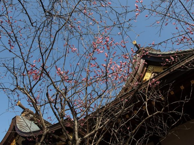 Plum blossoms at Ushi Tenjin
