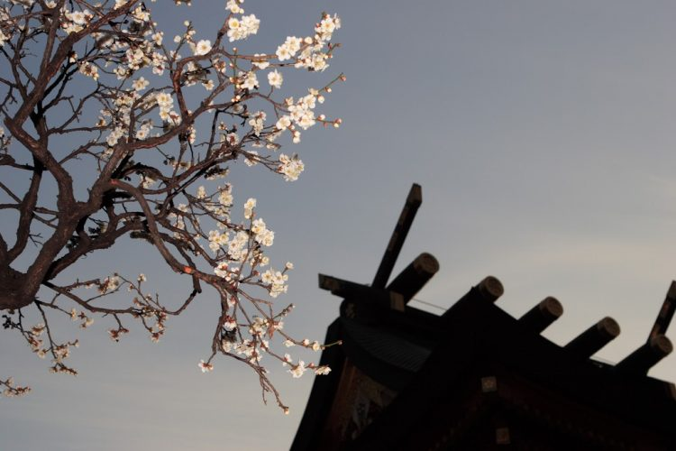 A view of plum blossoms at Yushima Tenjin
