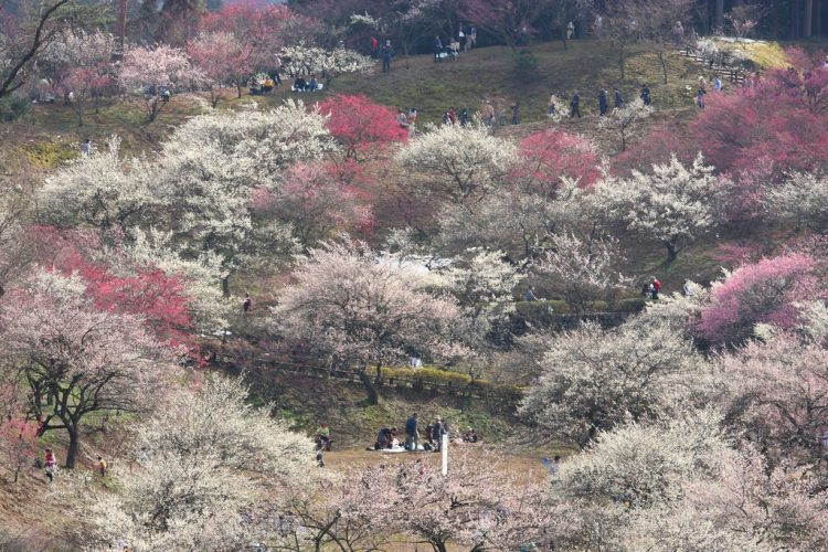 Plum Park in Oume, Tokyo-ken
