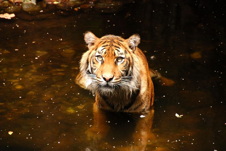 Sumatran tiger in water at Melbourne Zoo