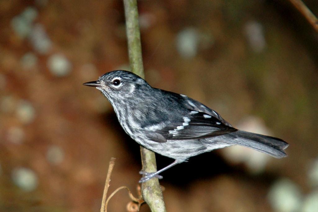 Elfin-woods warbler