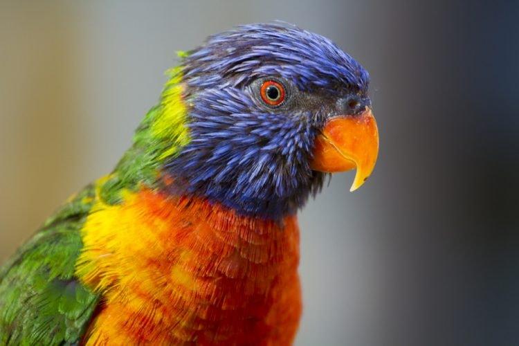 Rainbow Lorikeet at San Antonio Zoo