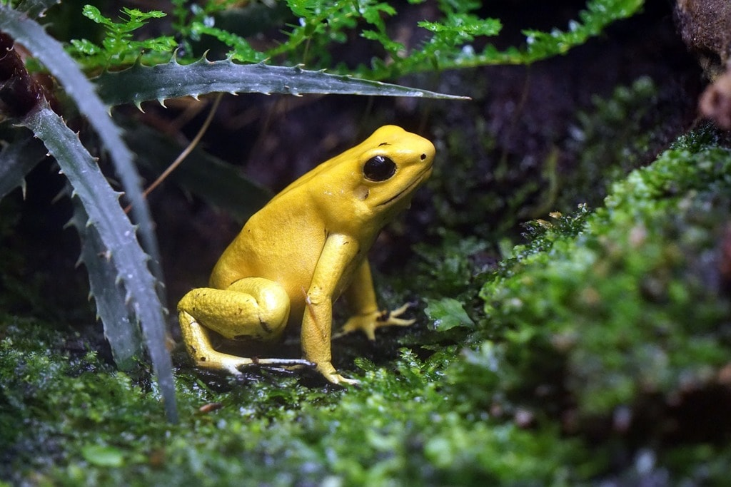One of Colombia's amazing frog species, which is the most poisonous frog on the planet.