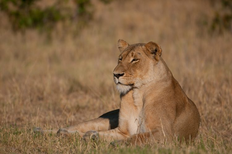 Female African Lion (Panthera leo) resting in Kruger National Park, South Africa