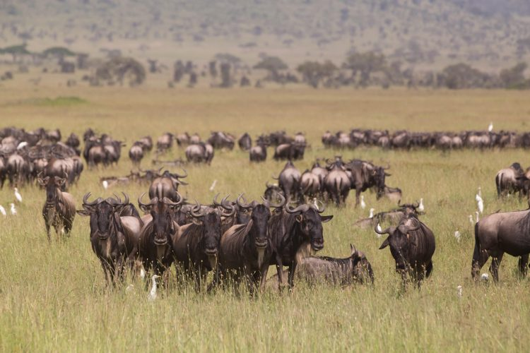 Wildebeests grazing in Serengeti National Park in Tanzania, East Africa