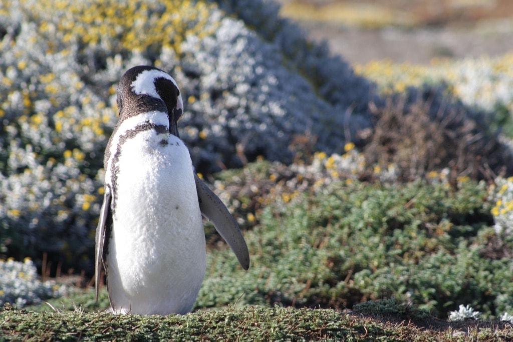 Penguin fjords Chile