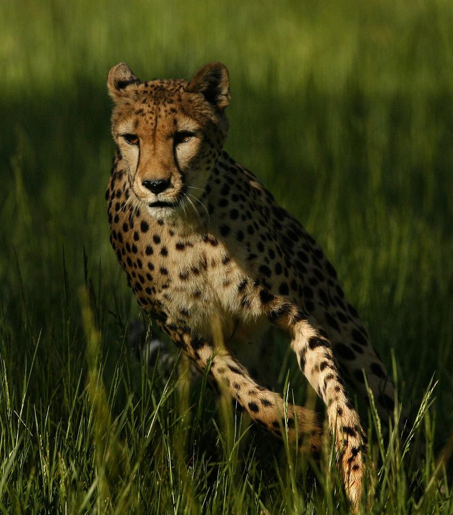 rsz_running_cheetah-sarah-janetarr
