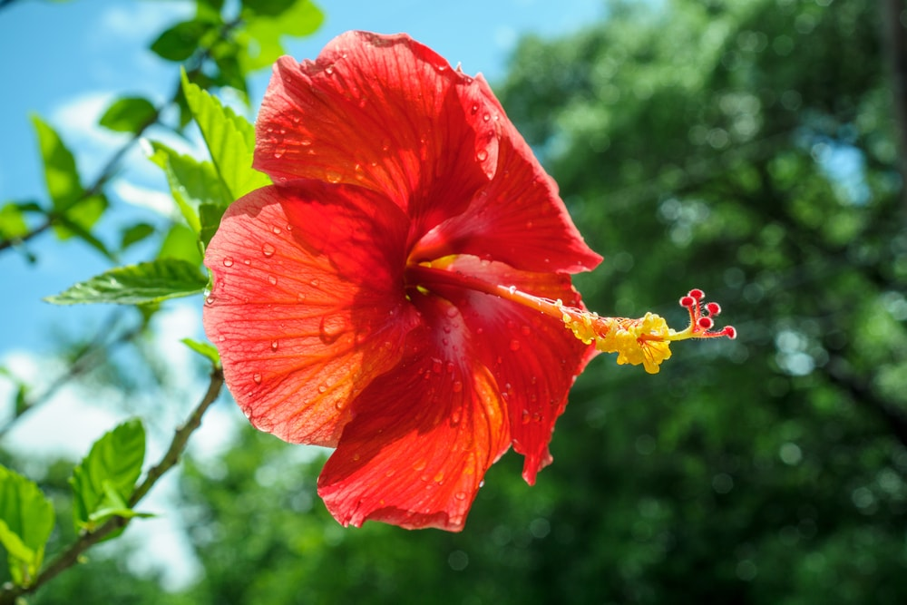 Hibiscus 11 Facts About Msia S National Flower