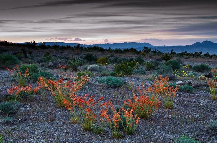 spring_flowers_in_red_rock_canyon_national_conservation_area_19978572065-1024x677